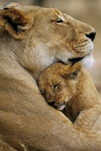 lion-and-baby
